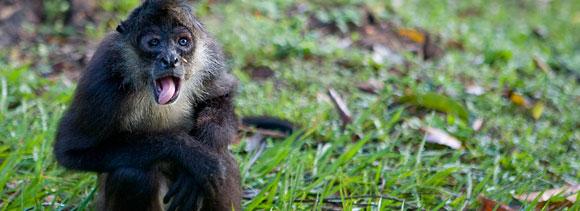 This Belizean monkey despises you and your audio tomfoolery!