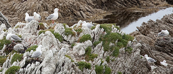 A small sampling of the red-billed gull colony at Kaikoura, South Island, New Zealand.