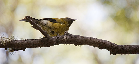 This recording might not be of the bellbird, but what the heck. They produce the most amazing birdsong, so he deserves this photo just 'cause!